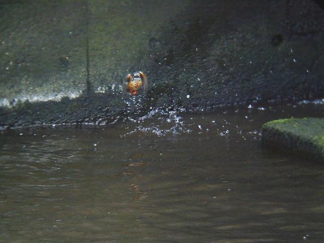 カワセミのダイビング7